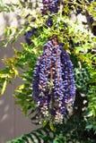 L'albero sempreverde di Leatherleaf Manhonia anche conosciuto come Mahonia Bealei, o l'arbusto del crespino di Beale's con l'uv immagini stock libere da diritti