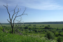 L'albero senza fogliame contro lo sfondo di un paesaggio verde, l'estate è la striscia media della Russia Immagine Stock Libera da Diritti