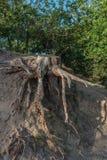 L'albero si pianta da un albero abbattuto in una collina della sabbia fotografia stock libera da diritti