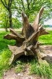 L'albero si pianta, la radice di un albero caduto Fotografie Stock
