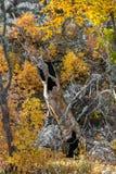 L'albero spettrale di Halloween Immagine Stock
