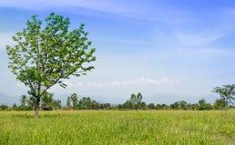 L'albero sul giacimento del riso Immagine Stock