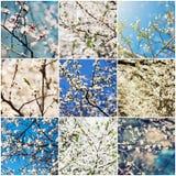 L'albicocca fiorisce la raccolta Immagini Stock