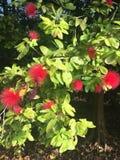 L'albizia julibrissin fiorisce la foto di riserva immagini stock