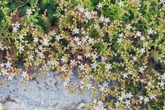 L'album di Sedum fiorisce sulle rocce nel giardino Immagini Stock Libere da Diritti