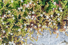 L'album di Sedum fiorisce sulle rocce nel giardino, naturale variopinto Immagine Stock