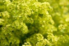 L'alchemilla in fioritura. Fotografia Stock
