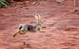 L'alerte frottent des lièvres et x28 ; Saxatilis& x29 de Lepus ; fonctionnement de lapin effrayé dans Tan images stock
