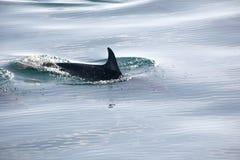 L'aletta del delfino di nuoto rompe la superficie dell'acqua Immagini Stock Libere da Diritti