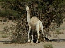 L'Algérie, animal, chameau, désert Image libre de droits