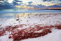 L'algue assez rouge a lavé à terre la plage à l'aube Image stock