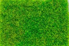 L'algue ovale de raisins de mer, se ferment vers le haut du caviar vert d'isolement sur le fond blanc photos stock