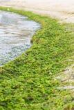 L'algue s'est rassemblée du rivage après la tempête Photographie stock libre de droits