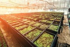 L'alimento dell'agricoltura della serra semina la coltivazione delle verdure dell'azienda agricola Fotografie Stock Libere da Diritti