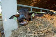 L'alimento dell'alimentazione al cibo del bufalo nero ricopre di paglia immagini stock libere da diritti