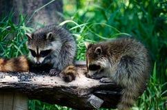 L'alimento di uccello è benissimo da noi raccoons affamati Immagini Stock