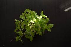 L'alimento mediterraneo delle foglie del basilico mangia la salute immagine stock