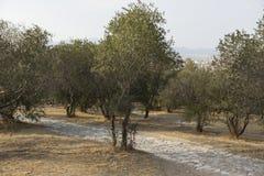 L'allée des oliviers sur une colline pavée avec la voie de pavés ronds Images libres de droits