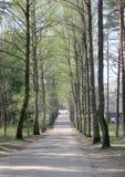 L'allée ensoleillée avec du temps élevé d'arbres au printemps Images libres de droits
