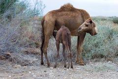 L'allaitement du chameau Photographie stock libre de droits