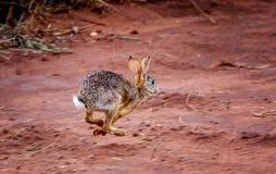 L'allarme sfrega la lepre & x28; Saxatilis& x29 del Lepus; funzionamento del coniglio spaventato in Tan Immagine Stock Libera da Diritti