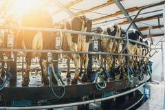 L'allevamento di bestiame e produzione del concetto dei prodotti lattier-caseario, mucche di mungitura Fotografia Stock