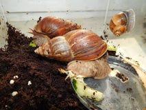 L'allevamento di grandi lumache nel terrario Fotografia Stock