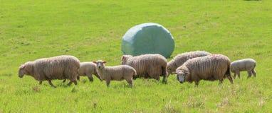 L'allevamento di pecore ed il bianco hanno avvolto il fondo del silaggio in azienda agricola verde Immagine Stock