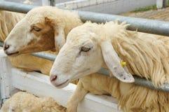 L'allevamento di pecore famoso in Tailandia Fotografia Stock Libera da Diritti