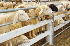 L'allevamento di pecore famoso in Tailandia Immagini Stock