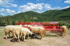 L'allevamento di pecore nel frutteto di frutta con la sedia lunga rossa e bei cielo blu e nuvola fra la montagna Fotografie Stock