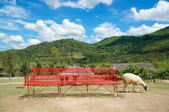 L'allevamento di pecore nel frutteto di frutta con la sedia lunga rossa e bei cielo blu e nuvola fra la montagna Immagine Stock