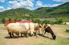 L'allevamento di pecore nel frutteto di frutta con la sedia lunga rossa e bei cielo blu e nuvola fra la montagna Fotografia Stock