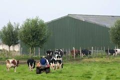 L'allevatore di bestiame olandese guida le mucche alla stalla Fotografia Stock Libera da Diritti