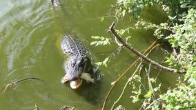 L'alligator alimente sur le poisson-chat dans le lac florida banque de vidéos