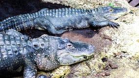 L'alligator de habitant du Mississippi images libres de droits