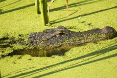 L'alligator menaçant dans des algues a rempli profil de lac Images libres de droits