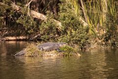 L'alligator mississippiensis dell'alligatore americano si espone al sole su una s Fotografie Stock
