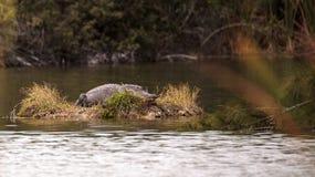 L'alligator mississippiensis dell'alligatore americano si espone al sole su una s Fotografia Stock Libera da Diritti