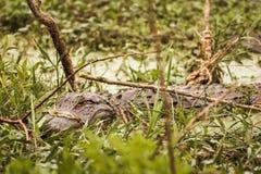 L'alligator mississippiensis selvaggio dell'alligatore americano ha sommerso la a Fotografia Stock Libera da Diritti