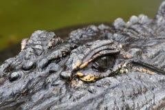 L'alligator observe le plan rapproché Images stock