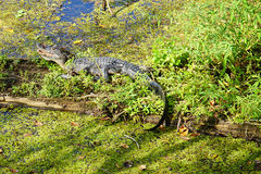 L'alligatore è esposizione al sole Immagine Stock Libera da Diritti