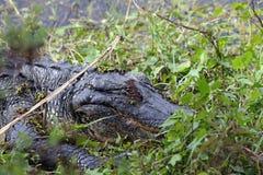 L'alligatore americano Immagini Stock Libere da Diritti