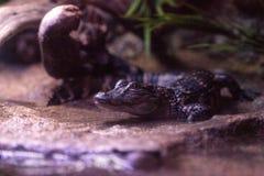 L'alligatore americano del bambino inoltre ha chiamato l'alligator mississippiensis Fotografia Stock Libera da Diritti