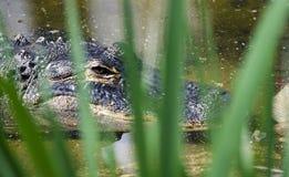 L'alligatore americano prigioniero, sopporta lo zoo vuoto, Atene la Georgia U.S.A. Fotografie Stock Libere da Diritti