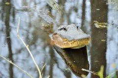 L'alligatore americano solleva la sua testa dall'acqua Immagini Stock