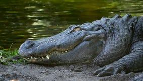 L'alligatore chiude i suoi occhi mentre riposa sulla Banca, 4K archivi video