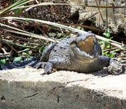 L'alligatore con la bocca apre 2 Fotografia Stock Libera da Diritti