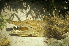 L'alligatore con le mandibole si apre Immagine Stock
