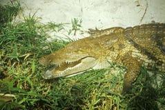 L'alligatore con le mandibole si apre Fotografie Stock Libere da Diritti